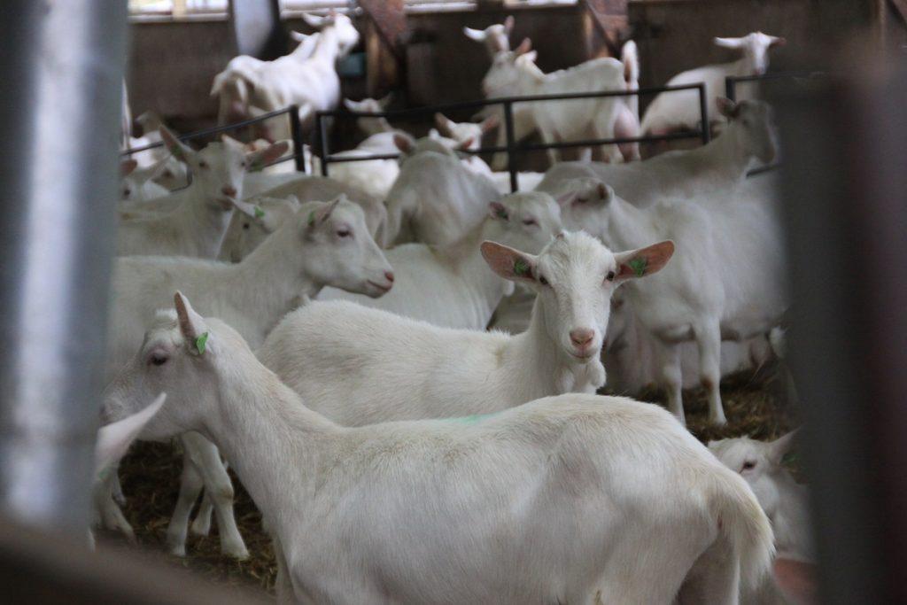 Bezoek aan de geitjes op de geitenboerderij