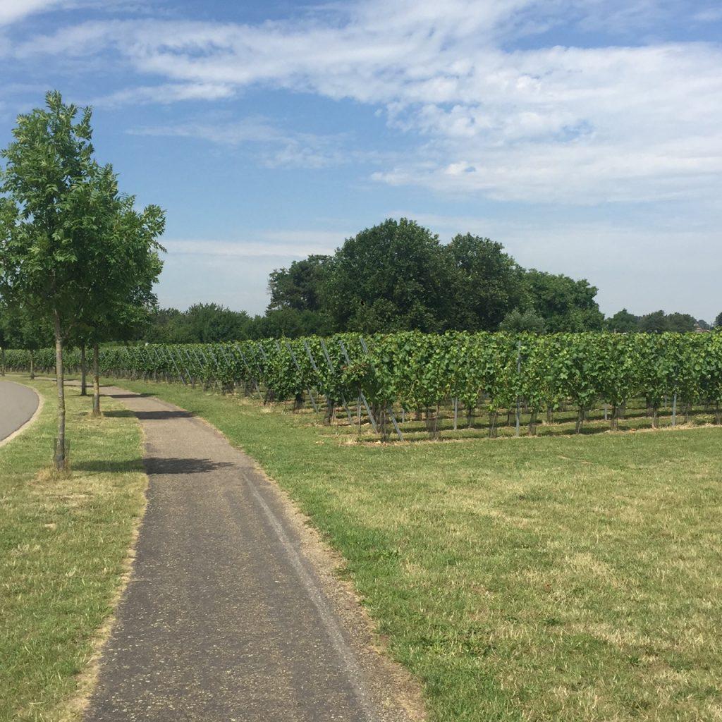 Wijnranken in Aldeneyk langs de Maas Maasvallei Limburg Foodblog Foodinista