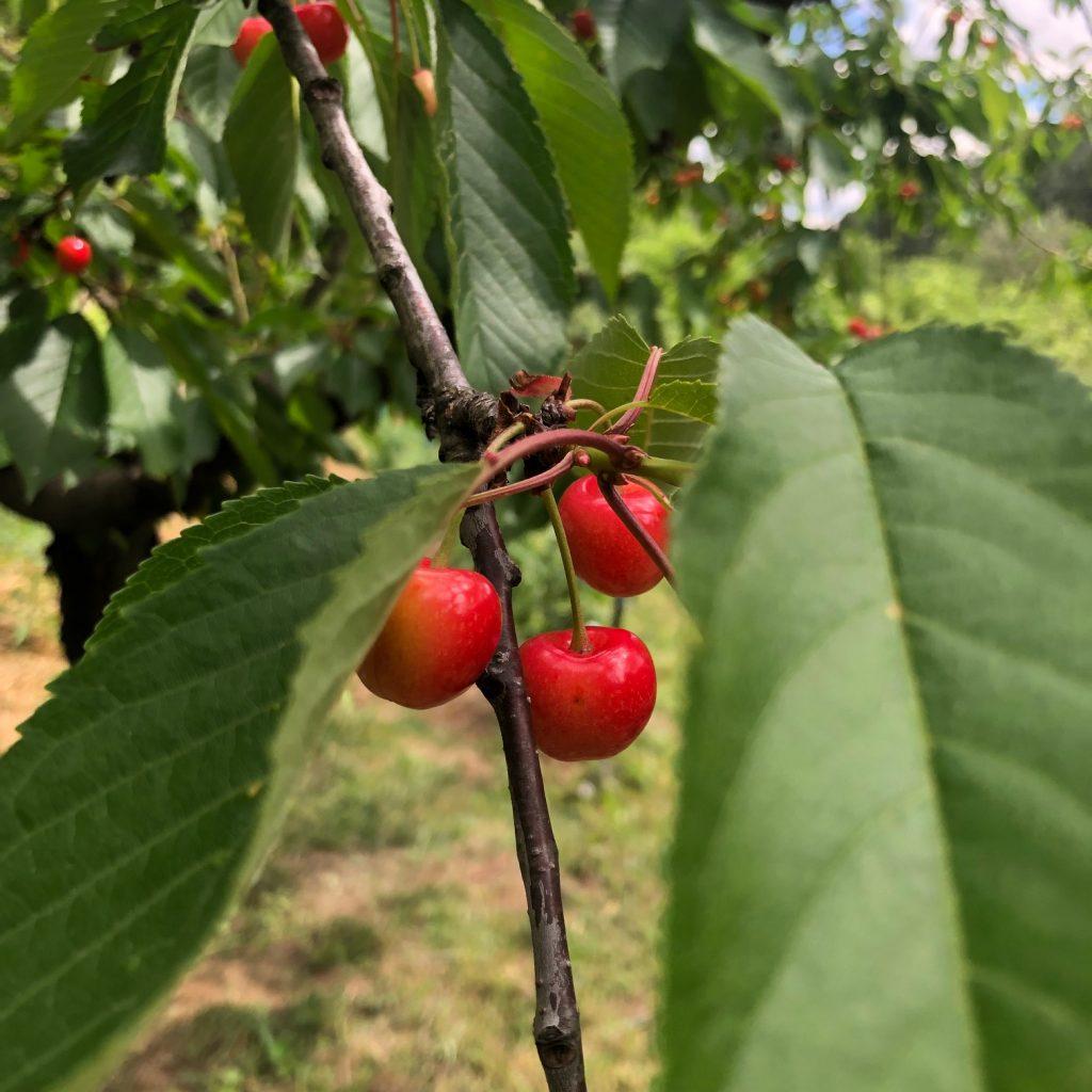 Kersen in de tuin bij l'oustalou in de Ardeche in Frankrijk reis tips van Foodblog Foodinista